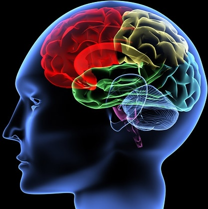 Image result for human brain, pictures